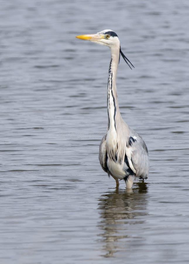 苍鹭,趟过在湖 免版税库存图片