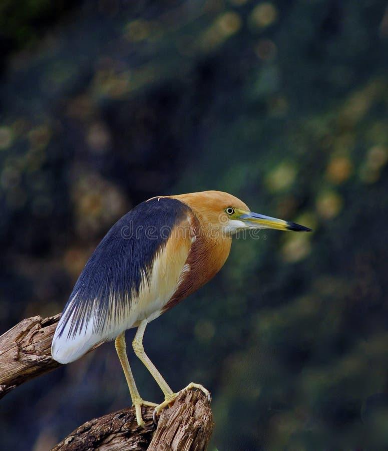 苍鹭javan池塘 库存照片