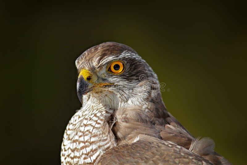 苍鹰顶头画象 鸷细节苍鹰 鸟鹰坐分支在下落的落叶松属森林里在秋天图片