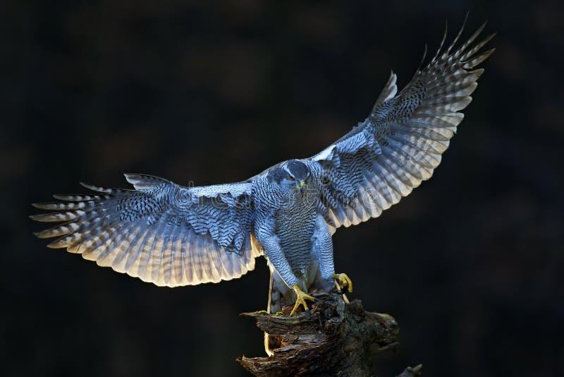 苍鹰,飞行的鸷与开放翼的有晚上太阳背后照明的,自然森林栖所在背景中,在树的着陆 免版税库存照片
