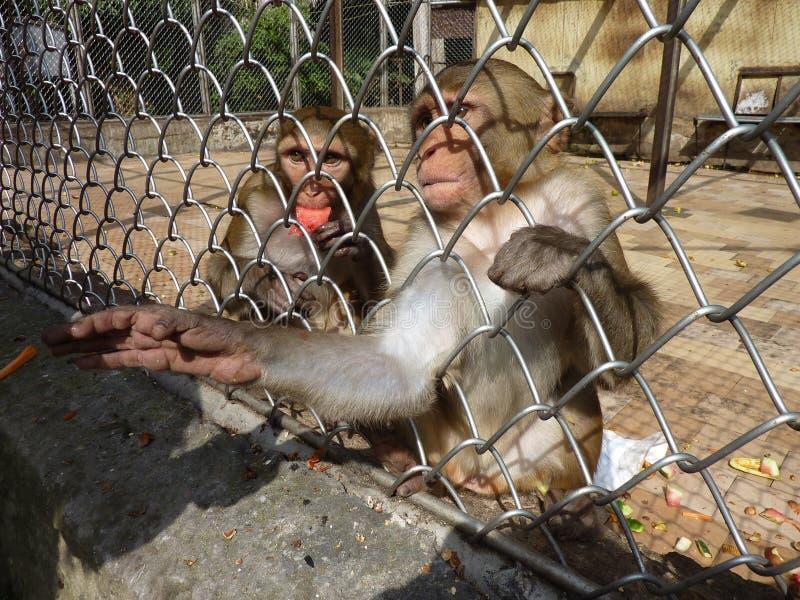 苏呼米猴子托儿所 免版税图库摄影