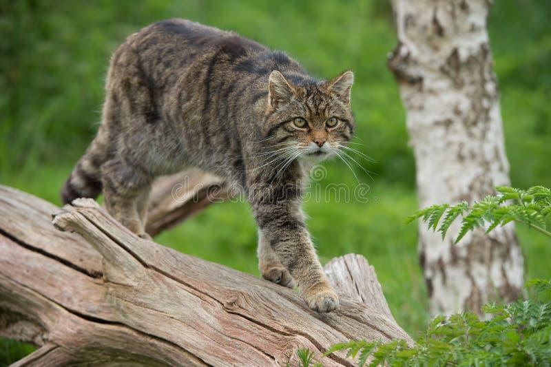 苏格兰不可靠的猫属Silvestris Grampia 免版税库存图片