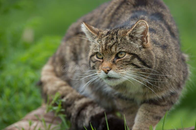 苏格兰不可靠的猫属Silvestris Grampia 免版税图库摄影