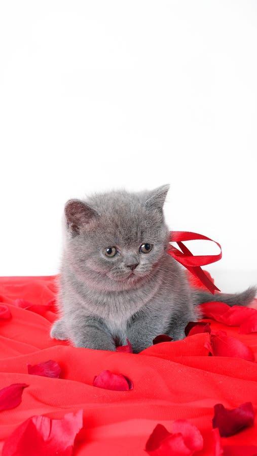 苏格兰人为华伦泰` s天折叠小猫礼物 免版税图库摄影