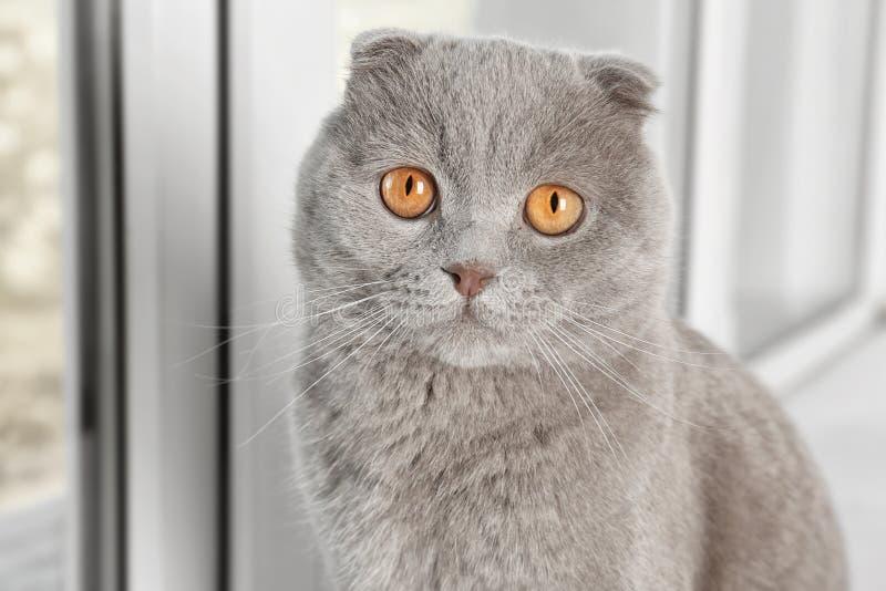 苏格兰人坐在白色窗口附近的折叠猫 免版税图库摄影