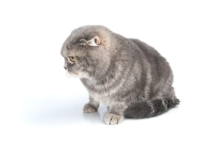 苏格兰人折叠猫品种看得下来 图库摄影