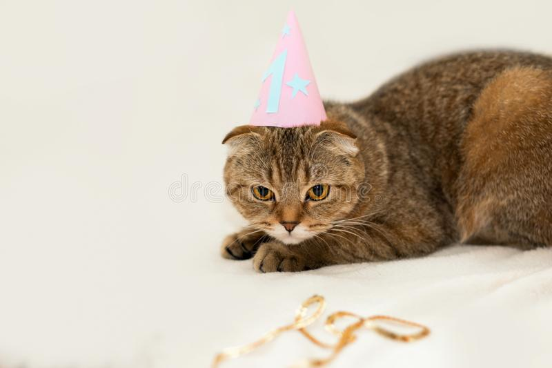 苏格兰人折叠猫,棕色平纹 猫的第一个生日 免版税图库摄影