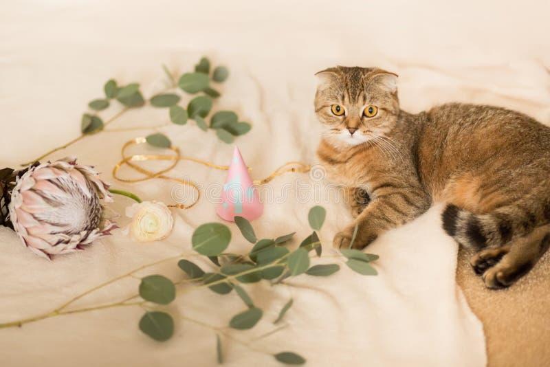 苏格兰人折叠猫,棕色平纹 猫的第一个生日 免版税库存图片