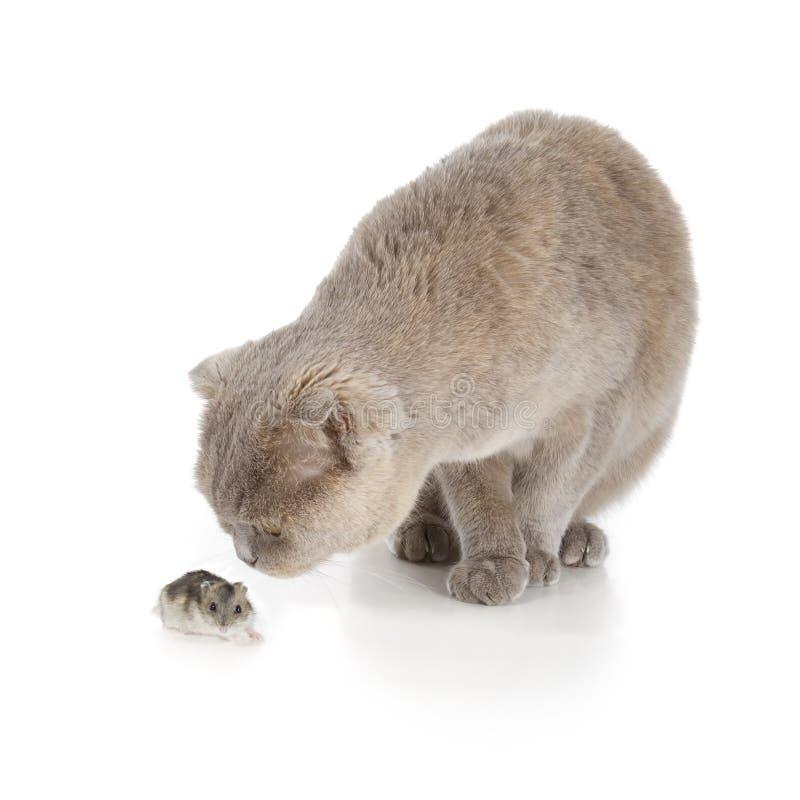 苏格兰人折叠猫 免版税库存图片