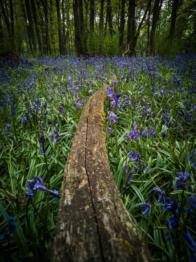 苏格兰会开蓝色钟形花的草 库存图片