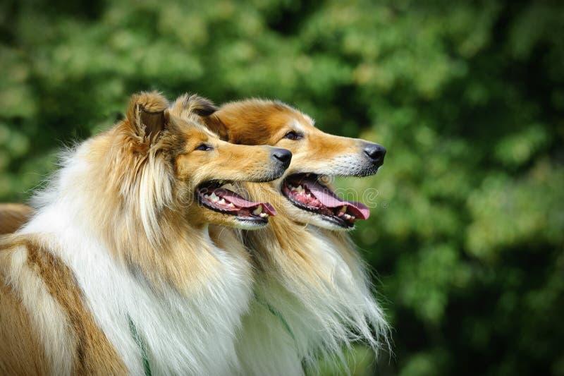 苏格兰大牧羊犬/粗砺的大牧羊犬 免版税库存图片