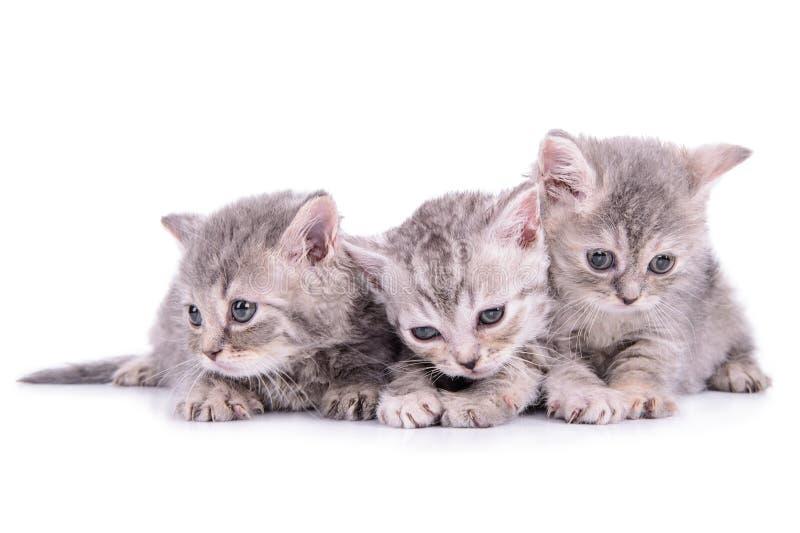 苏格兰平纹小猫 免版税库存照片