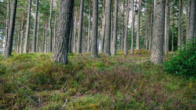 苏格兰杉木森林地板 免版税库存照片