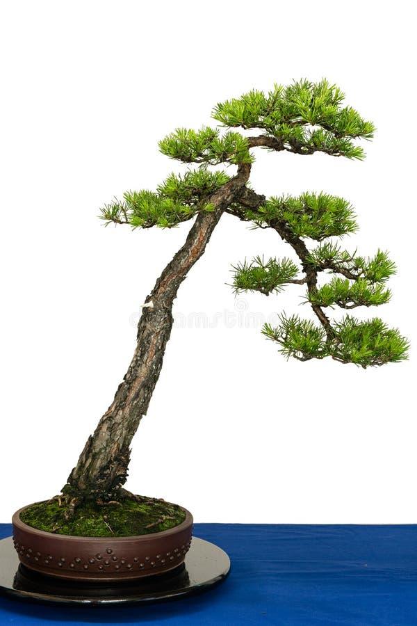 苏格兰松树当盆景树 免版税图库摄影