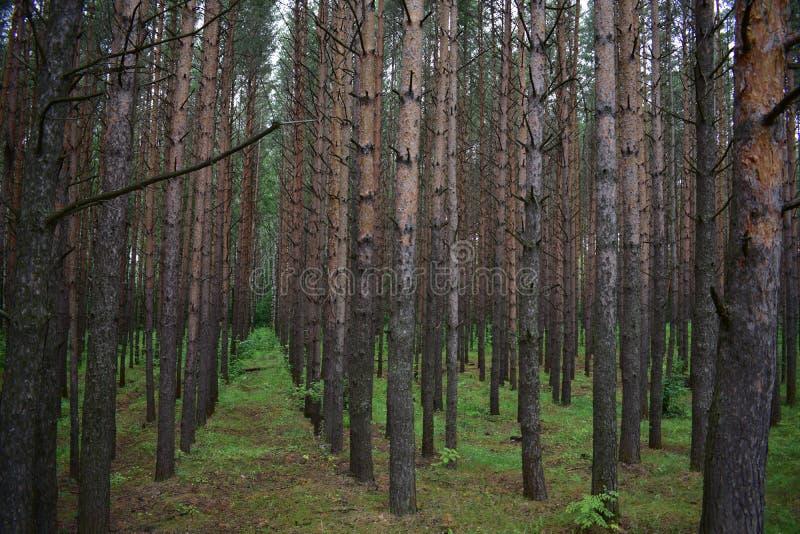 苏格兰松树是主要种类在森林里在这些森林机盖下  免版税库存照片