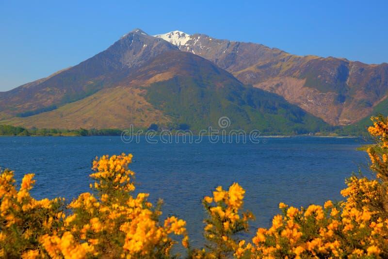 苏格兰海湾和山与雪和黄色花海湾Leven Lochaber Geopark 库存照片