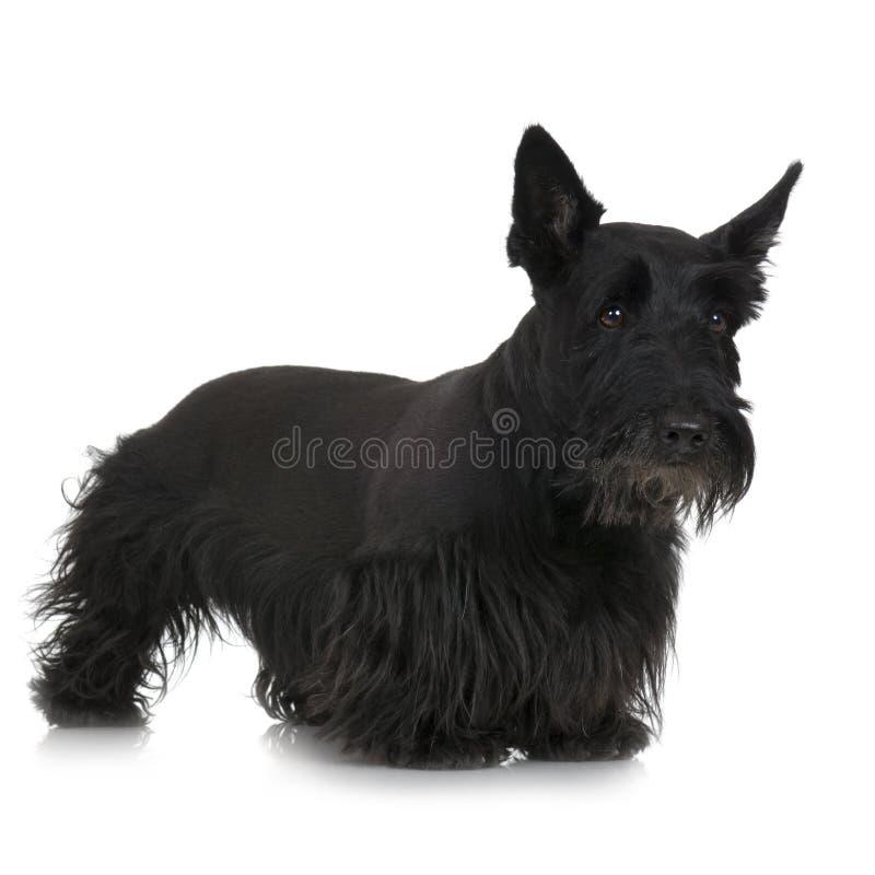 苏格兰狗 免版税库存照片