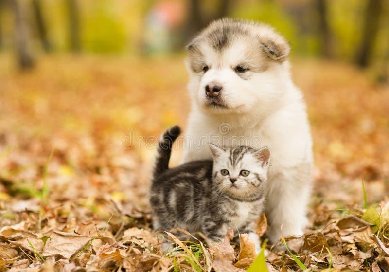苏格兰猫和阿拉斯加的爱斯基摩狗一起小狗在秋天公园 免版税库存图片