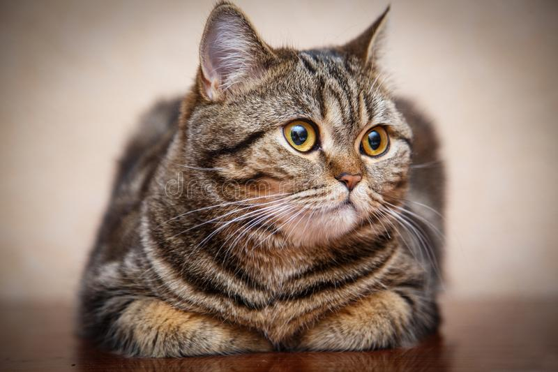 苏格兰猫小猫画象  库存照片