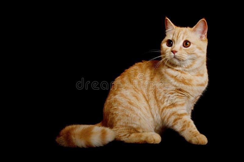 苏格兰纯血统猫 免版税库存照片