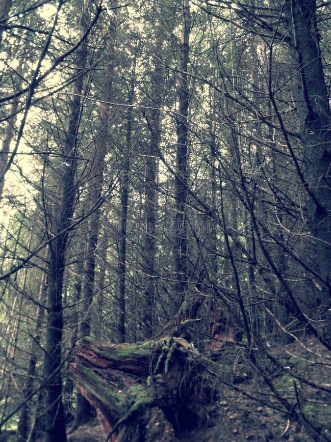 苏格兰语森林 免版税库存照片