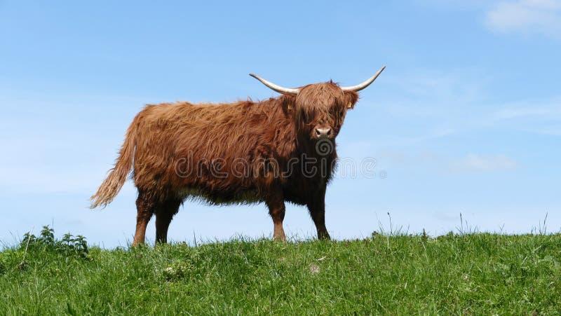 苏格兰高地居民母牛 库存图片