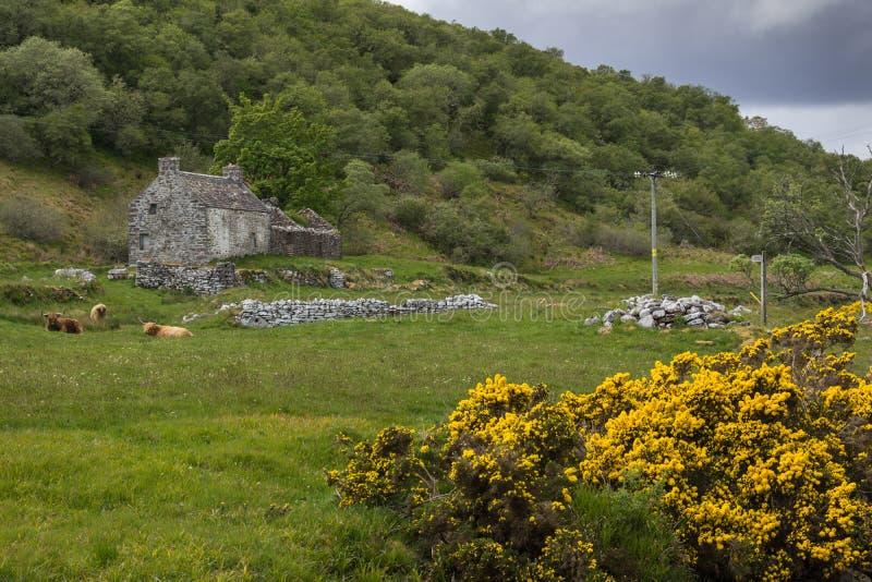苏格兰高地牛在有房子的草甸 免版税库存图片