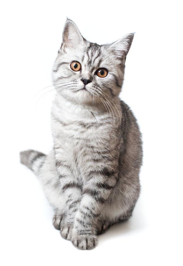 苏格兰strite年轻人猫 库存图片