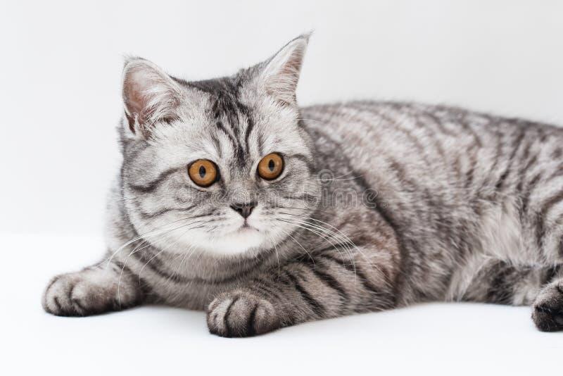苏格兰strite年轻人猫 免版税库存图片