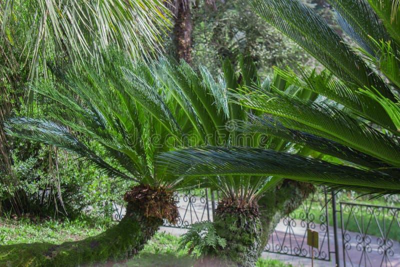 苏铁属Revoluta植物在索契Dendrarium在春天 免版税图库摄影