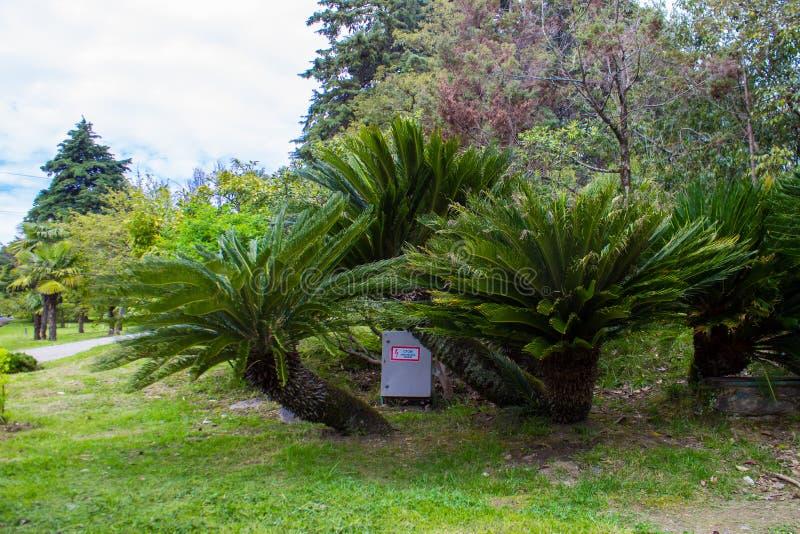 苏铁属Revoluta植物在索契Dendrarium在春天 库存图片
