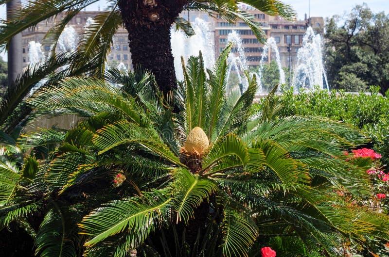 苏铁树,苏铁属revoluta开花植物女性锥体在西班牙庭院里 免版税库存照片