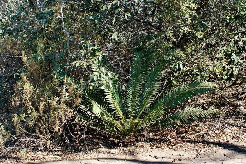 苏铁科的植物在比勒陀利亚,南非 免版税库存照片