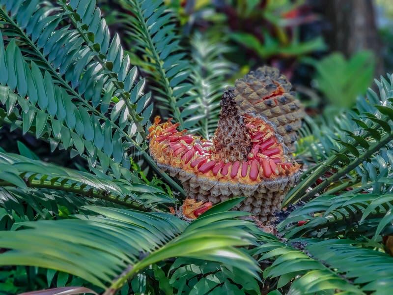 苏铁科的植物植物用开放种子荚 免版税库存图片