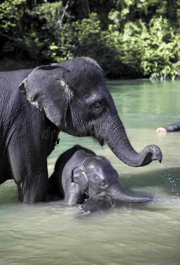 苏门答腊大象亚洲象属沐浴在有婴孩的河的maximus sumatranus 免版税图库摄影