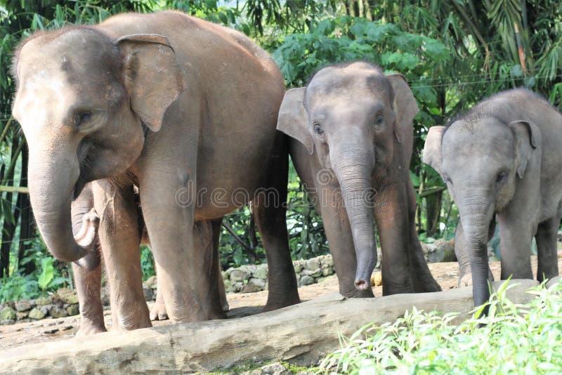 苏门答腊大象 免版税图库摄影
