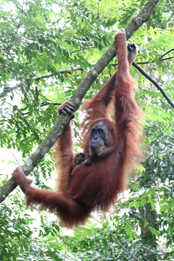 苏门答腊猩猩母亲 图库摄影