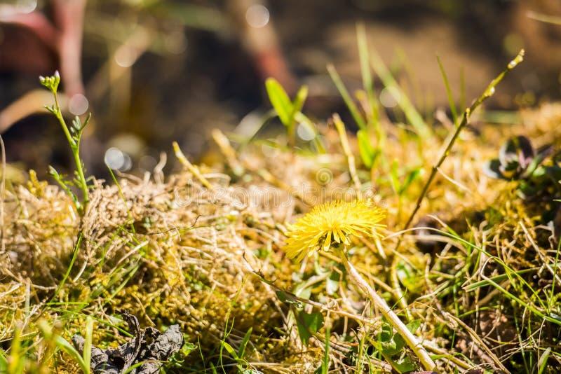 苔藓背景中的黄蒲公英花 免版税库存图片