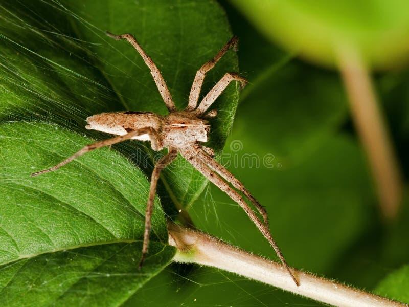 苗圃蜘蛛 图库摄影