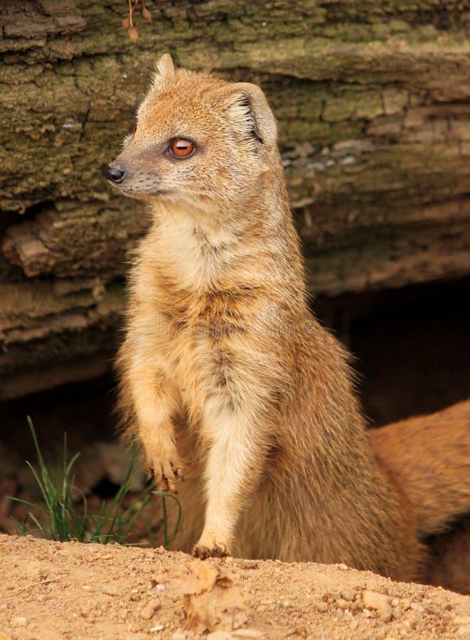 苗条猫鼬,布拉格动物园 免版税图库摄影