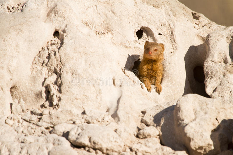 苗条的猫鼬 图库摄影