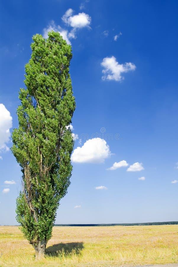 苗条的白杨树 免版税库存图片