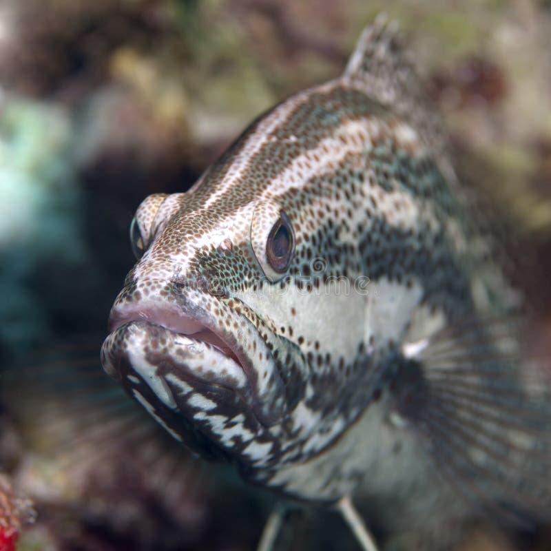 苗条石斑鱼 库存照片