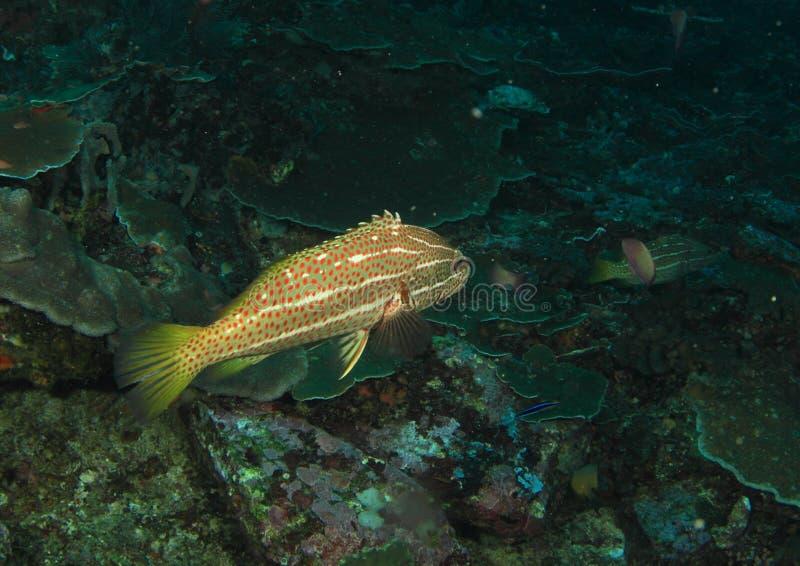 苗条石斑鱼 库存图片