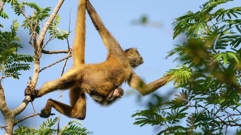 若弗鲁瓦的蜘蛛猴与婴孩的蛛猴属geoffroyi 图库摄影