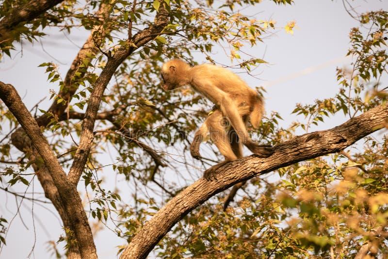 若弗鲁瓦的蜘蛛猴蛛猴属geoffroyi 图库摄影