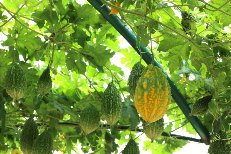 苦涩瓜或苦瓜属charantia植物 免版税图库摄影