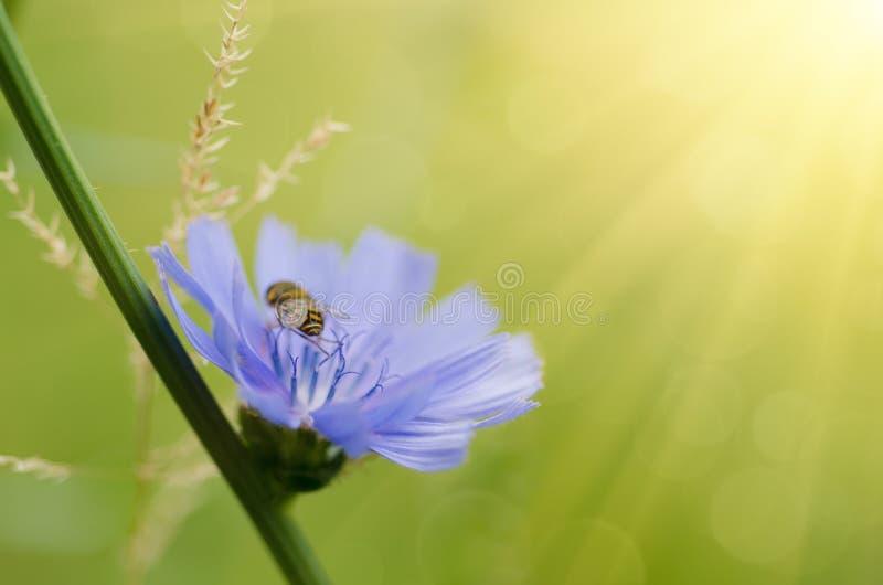 苦苣生茯花本质上 库存图片
