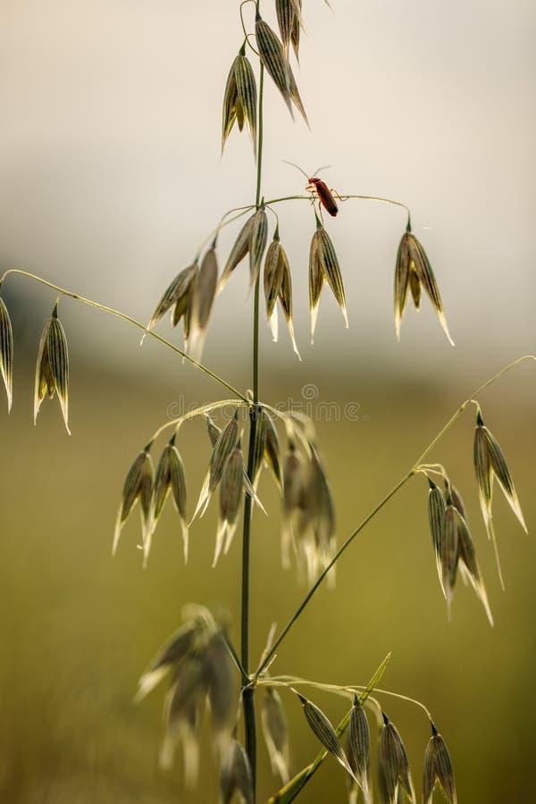 英亩的燕麦植物在夏天 免版税库存图片