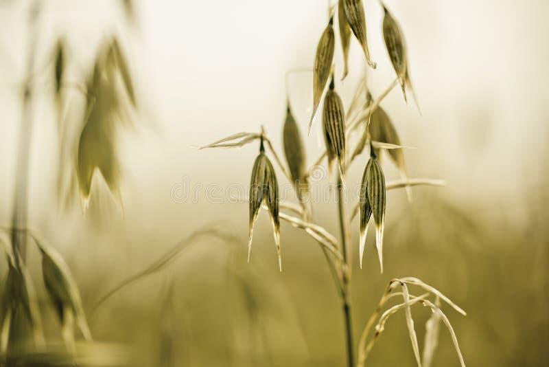 英亩的燕麦植物在夏天 库存图片